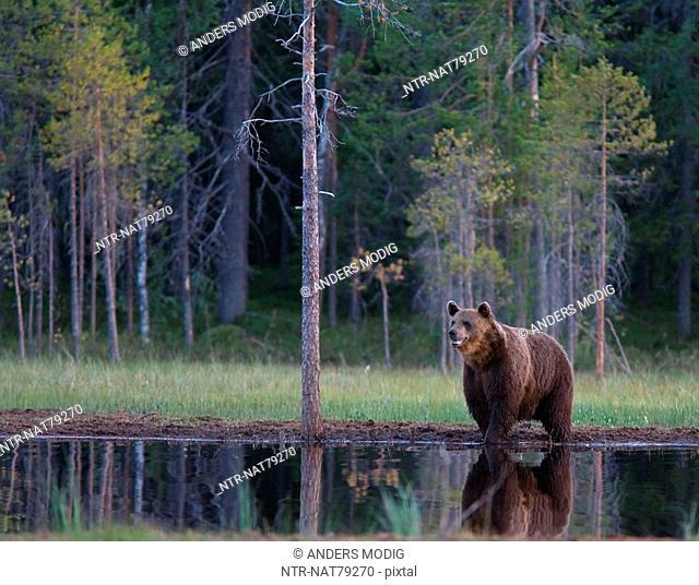 A brown bear, Finland