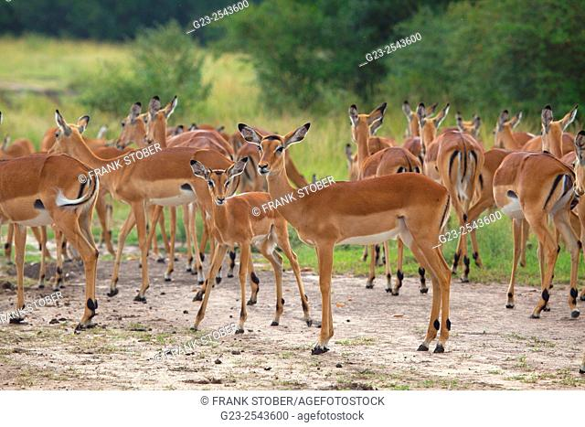 Group of Impalas. Africa