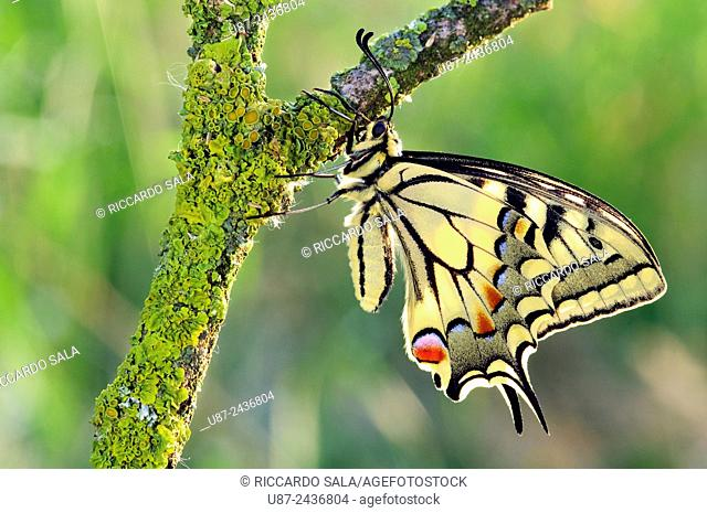 Italy, Lombardy, Countryside of Cremona Province, Old World Swallowtail , Papilio Machaon . . .
