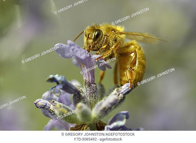 A close up of a honey bee, Apis, on a lavendar plant, Lavandula spica