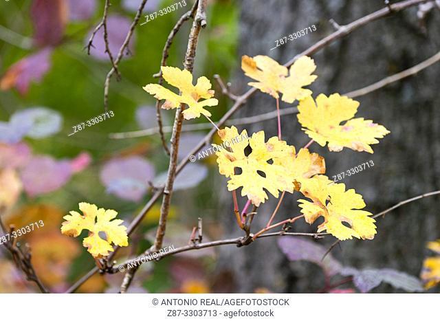 Autumn leaves. Parque Natural Barranco del Río Dulce. Pelegrina. Guadalajara Province, Castile-La Mancha, Spain