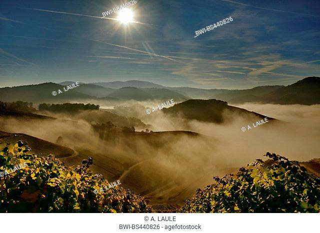 vineyards and forest with morning fog and backlight, Germany, Baden-Wuerttemberg, Black Forest, Durbach