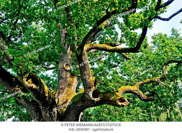 Pedunculate oak close to the Weinbergweg in Bad Blumau, Burgenland, Austria, probably the oldest oak in Austria