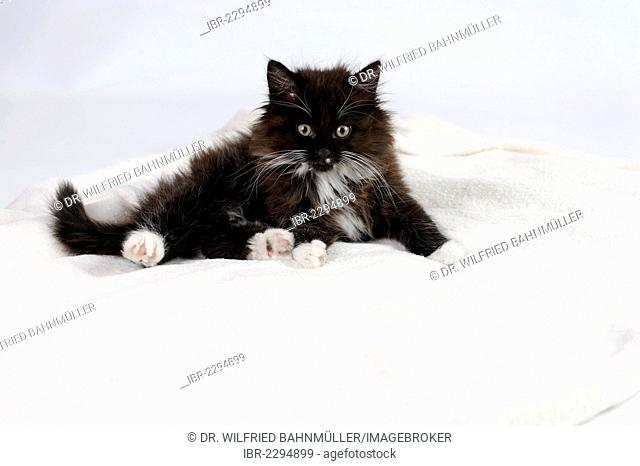 Young longhaired black and white cat