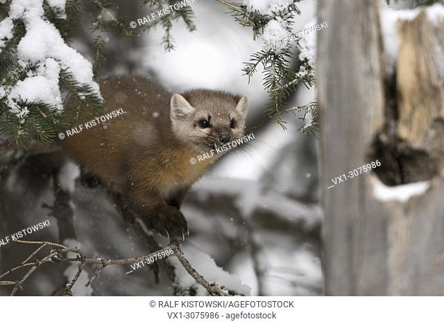 Pine Marten ( Martes americana ) in winter, hunting in a snow covered conifer tree, frontal side view, looks fierce, mean, wildlife, USA