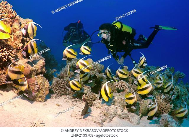 Diver looking at Pennant coralfish, longfin bannerfish or coachman (Heniochus acuminatus) Red sea, Egypt, Africa