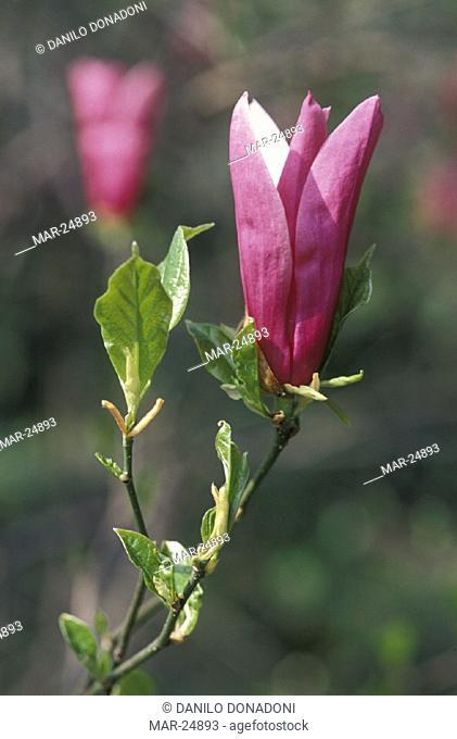 magnolia liliflora flower, alzano lombardo, italy