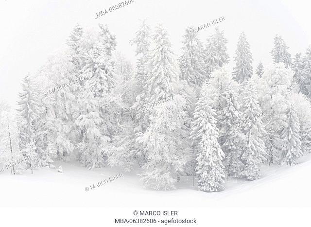 Snowy firs, Switzerland, St. Gallen, Hemberg