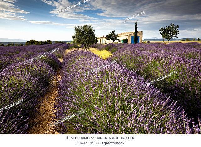 Blooming lavender (Lavandula angustifolia) with cottage, Alpes-de-Haute-Provence, Provence-Alpes-Côte d'Azur, France