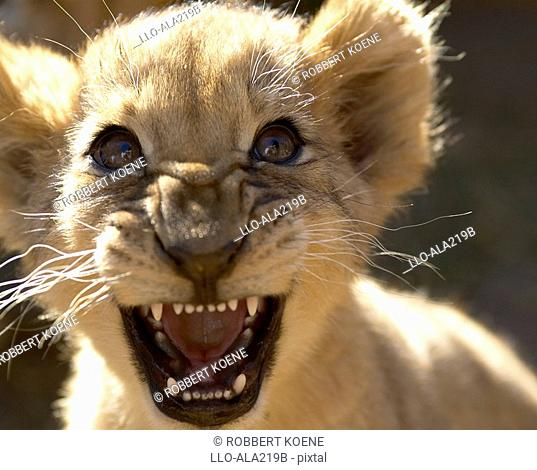 Close-up Portrait of a Lion Cub Panthera leo Growling  Addo Elephant National Park, Eastern Cape Province, South Africa
