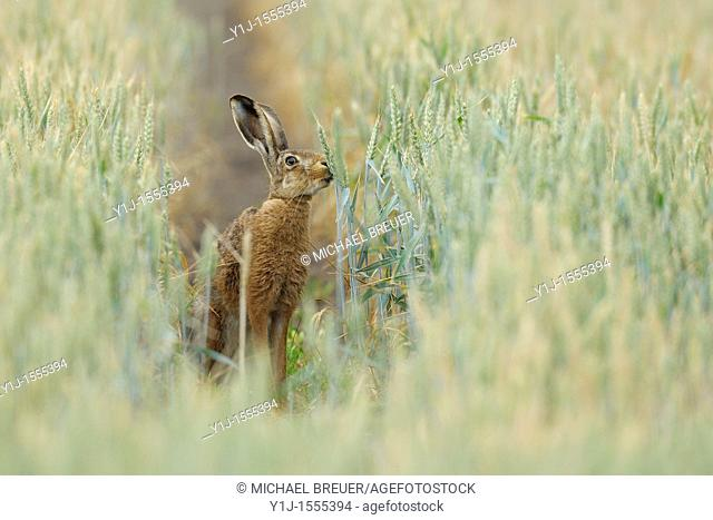 European brown hare in wheat field, Lepus europaeus, Hessen, Germany, Europe