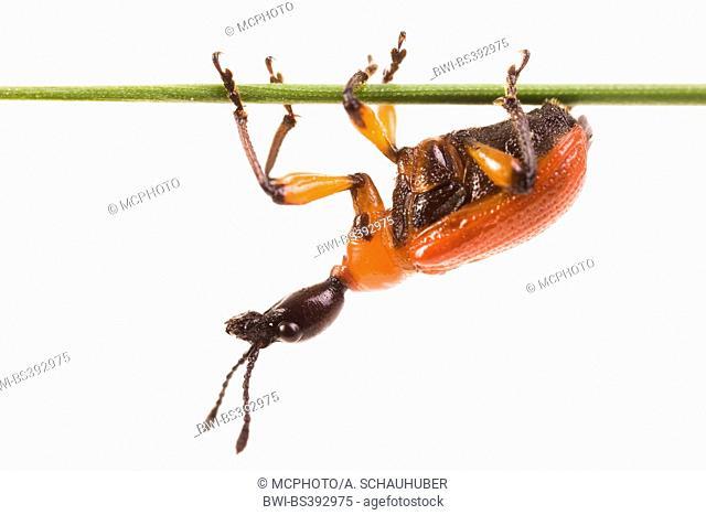 Apoderus coryli. Hazel weevil