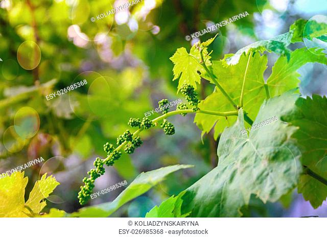 young immature grapes, grape branch