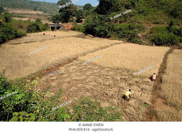 Women harvesting rice by hand in individual village fields, Koraput district, Orissa (Odisha), India, Asia