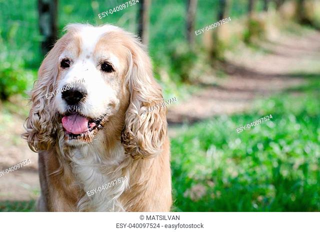 Close up on a beige cocker spaniel dog