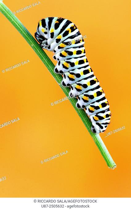 Swallowtail Caterpillar , Papilio Machaon, . . .