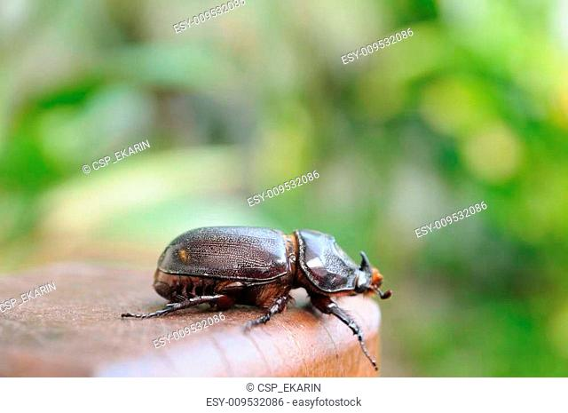 Single beetle hanging on wood, outdoor background