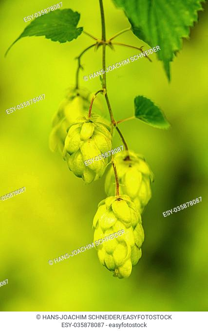 ripe hop cones, spice for beer and medicinal herb in Germany