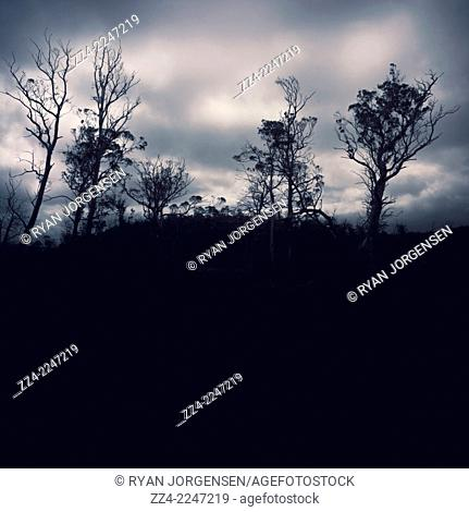 Creative nature landscape on black silhouette trees in a spooky blue West Coast Tasmanian forest. Mysterious morning
