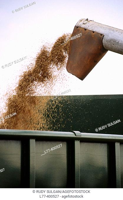 Combine loading wheat into truck. Slovak Republic