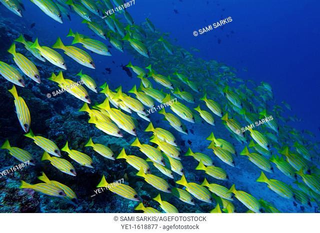 Maldives ari atoll rango madivaru school of blue striped snapper fishes lutjanus kasmira