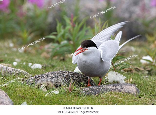 Arctic Tern (Sterna paradisaea) at nest with two chicks, Hudson Bay, Canada