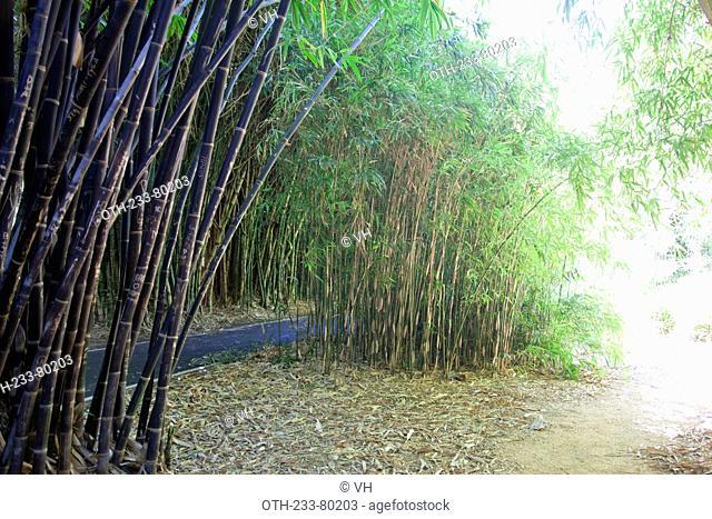 Bamboo grove, Botanic garden, Adelaide, South Australia