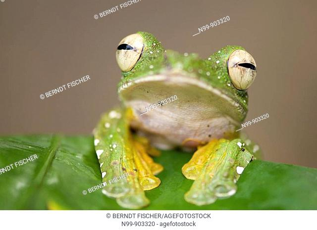 Wallace`s Flying Frog Rhacophorus nigripalmatus Danum Valley rainforest Sabah Borneo Malaysia