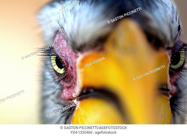 Yellowbillled Hornbill Tockus flavirostris, Mabuasehube, Kalahari desert, Botswana