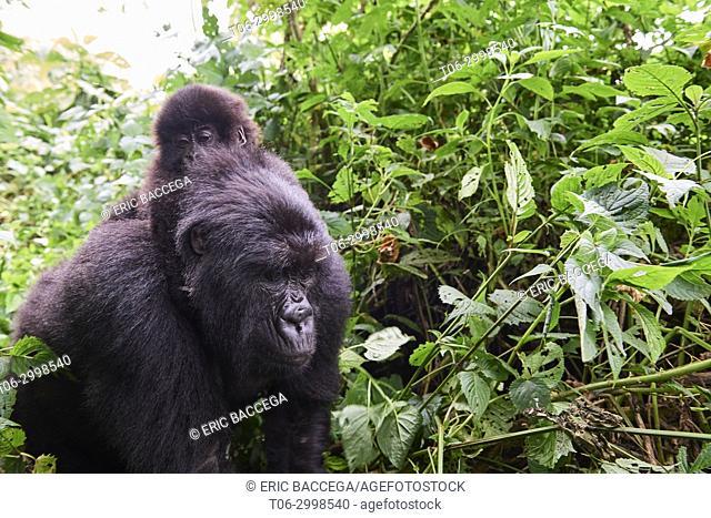 Female mountain gorilla (Gorilla beringei beringei) carrying young on back, member of Humba group. Virunga National Park, North Kivu