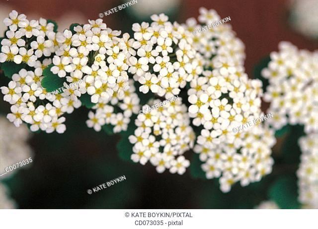 "Spirea (Spiraea trilobata ""Fairy Queen"")"