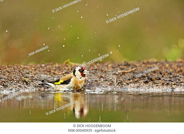 Goldfinch (Carduelis carduelis) near the water, The Netherlands, Overijssel, HBN photo hide