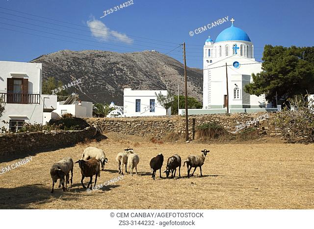 View to the Panagia Zoodohos Pigi Church in Kato Petali village with the sheeps in the foreground, Sifnos Island, Cyclades Islands, Greek Islands, Greece