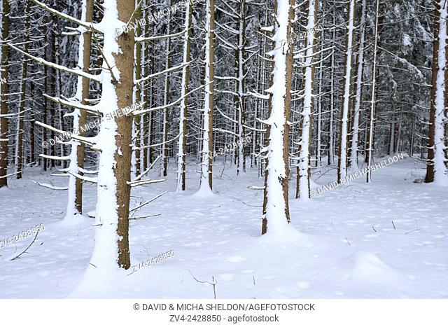 Landscape of a snowy Norway spruce (Picea abies) forest in winter