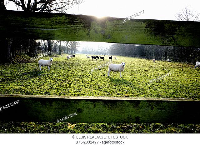 Backlit of a rural field seen through a wooden fence with a herd of lambs on the other side and some looking at the camera