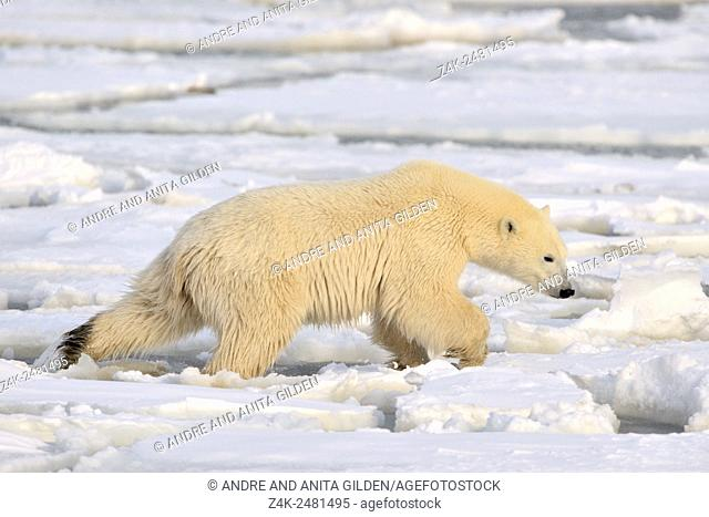 Polar bear (Ursus maritimus) walking carefully in snow on ice floe, Churchill, Hudson bay, Manitoba, Canada