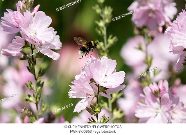 Prairie mallow, Sidalcea malviflora, White-tailed Bumble bee, Bombus lucorum, flying to pollinate pink flowers