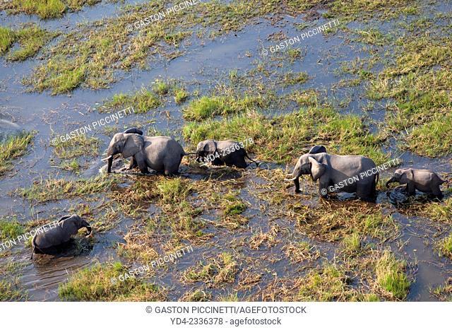 Aerial view of African Elephants (Loxodonta africana), in the floodplain, Okavango Delta, Botswana. The Okavango Delta is home to a rich array of wildlife