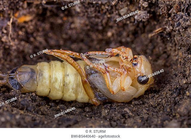 Great diving beetle (Dytiscus marginalis), pupa, Germany, Bavaria