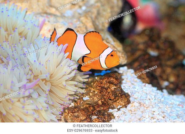 Ocellaris clownfish (Amphiprion ocellaris) in Japan
