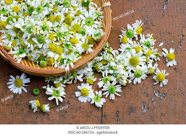 Scented Mayweed / Matricaria chamomilla, Matricaria recutita, Chamomilla recutita
