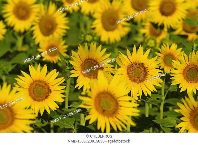 Close-up of Sunflowers, Provence, France