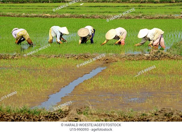 People working in a rice field near Hoi An, Vietnam