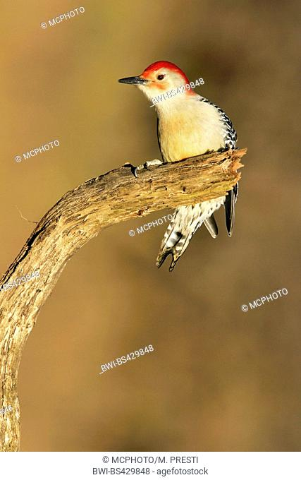 red-bellied woodpecker (Melanerpes carolinus), sitting on a branch, USA, Michigan