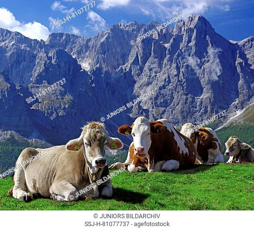 Red Holstein and Tyrolese Grey Cattle. Cows resting on the Alpe Nemes in the Sexten Dolomites. Sextner Dolomites Natural Park, South Tyrol, Italy
