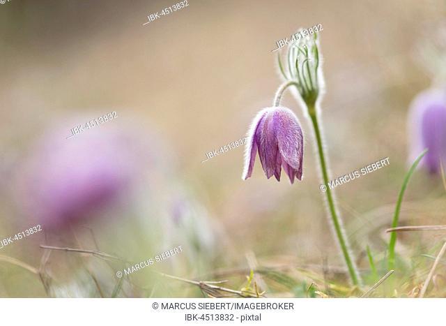 Pasque flower (Pulsatilla vulgaris), Hünfeld, Hesse, Germany