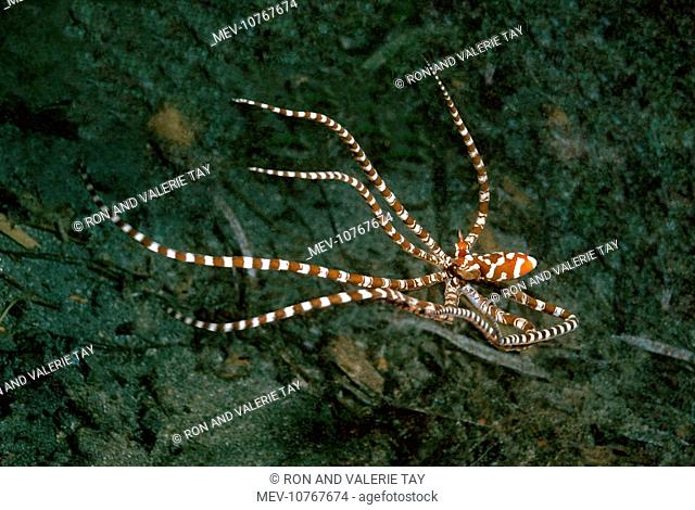 Mimic Octopus, ÔWonderpusÕ - Found in sandy areas, Ability to change shape and mimic other sand dwelling creature
