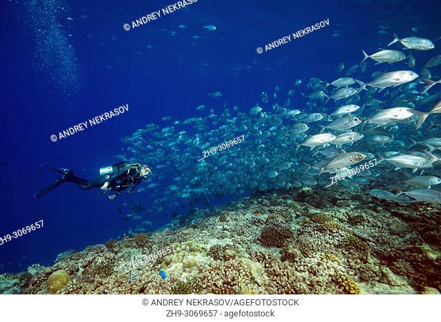 Female scuba diver swims with school of fish (Bigeye Trevally or Dusky Jack, Caranx sexfasciatus) in blue water over coral reef. Maldives