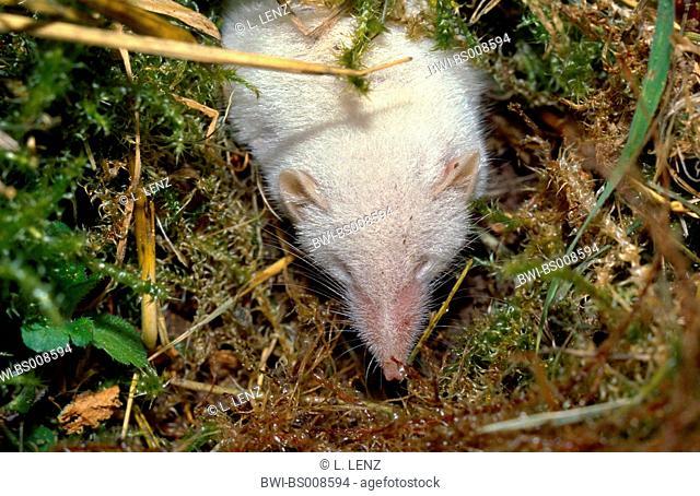 bicoloured white-toothed shrew (Crocidura leucodon), albino