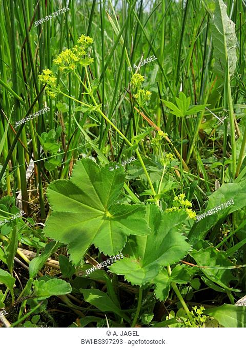 Smooth Lady's-mantle (Alchemilla vulgsris agg, Alchemilla glabra), blooming in a meadow, Germany
